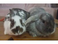2 x Rabbits with cage, food & water bowls etc