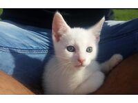 Absolutely Adorable Turkish Van cross kitten ( MALE )