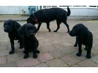 Black Labrador/Irish Setter cross puppies ready to go