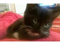 9 week male kitten