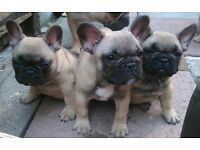 2 female French Bulldogs