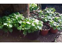 Lemon balm plants ( Melissa officinalis )