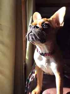 Missing female french bulldog Rosie