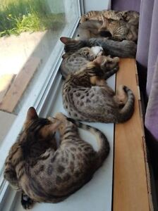 Purebred Chatons Cheetoh - Ocicat, Bengal, Abyssin (AMT)