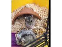 Baby dwarf hamsters looking for forever homes