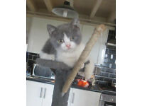 Lovely Blue & White Bi Colour British ShortHair Kitten