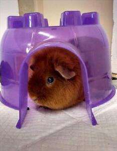 """Young Female Small & Furry - Guinea Pig: """"Nectarine"""""""
