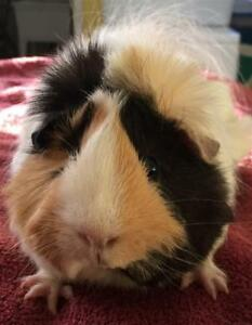 Adult Female  - Guinea Pig