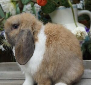 Purebred Vienna Marked Mini Lop Buck Lyndhurst Greater Dandenong Preview