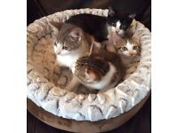 Bengal X kittens Ready Now Only 2 Left
