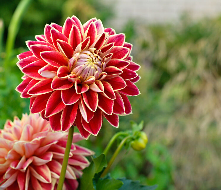 10 Stunning Dahlia Wedding Bouquets: The Top 10 Most Beautiful Flowers In The World