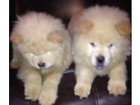 Chow chow puppys for sale