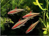 TROPICAL FISH RED LINE TORPEDO BARB
