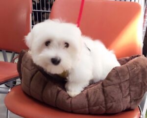 Super Adorable and Sweet Coton Du Tulear Puppy
