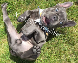 CKC Reg'd French Bulldog puppies, Quality Blues/Fawns, Brindles
