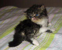 Adorable Purebred Exotic LH Dark Brown Tabby Male Kitten 4 sale