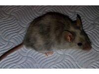 Male fancy mice