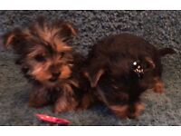 Yorkshire Terrier Puppies (yorkie)