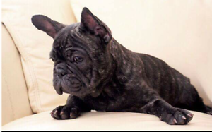 French bulldog Baw Baw Area Preview