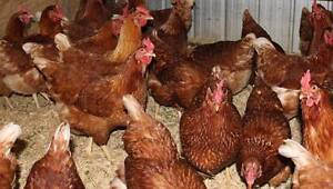 Chickens Hyline Browns Point of Lay (Like Isa Browns) Cranbourne South Casey Area Preview