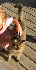 MISSING- OUR LONG HAIRED TABBY MALE NAMED GUS