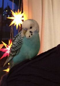 Lost: Blue Male Budgie