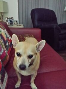Chance, 6 years old Chihuahua  Texas rescue for adoption