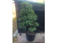 Specimen 120cm Yamadori Qurecus Robur English Oak tree