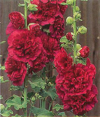 Hollyhock Seeds ★ Double Red ★ Ideal ...