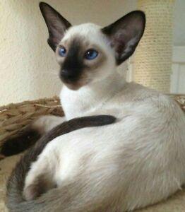 Siamese Male Kitten