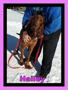 "Adult Female Dog - Bloodhound: ""(Courtesy Post) Hailey"""