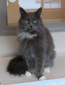 "Adult Female Cat - Domestic Long Hair: ""Ice Cube"""
