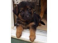 Beautiful Long Coat Black/Red German Shepherd Bitch Puppy Available
