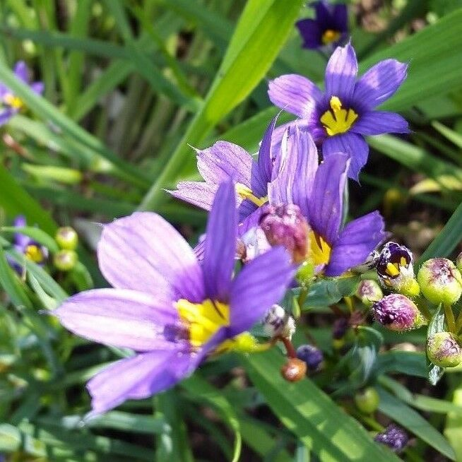 "Sisyrinchium Angustifolium /""Plant BLUE-EYED GRASS/'s 100 Graines"
