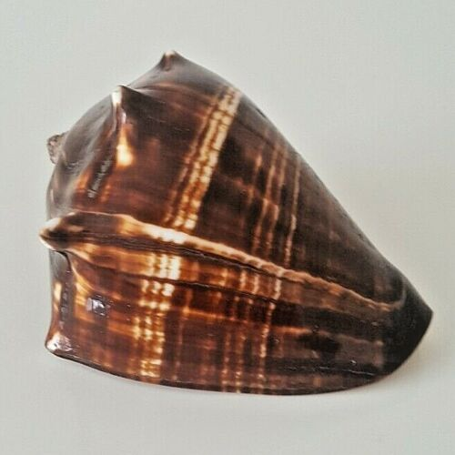 Sea Shell 4 inch long Brown and White Polished King Helmet Crown Conch Shell