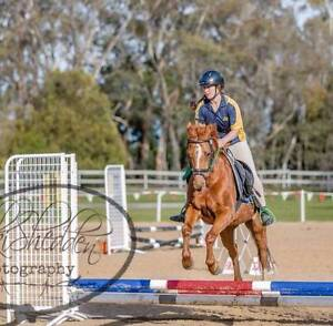 13yo 13.1 hh Welsh x gelding for sale Sunbury Hume Area Preview
