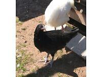 Chicken - Spanish Castenella Rare breed