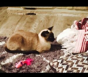 Looking for a male Siamese cat to breed with my cat !