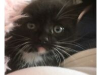 Beautiful kitten ready for new home
