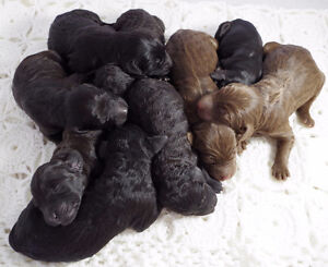 F2 Bernedoodle Puppies Available