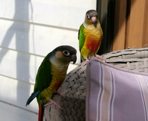 TAME,BREEDING PAIR YELLOW SIDED GREEN CHEEK CONURES WITH 3 KIDS.
