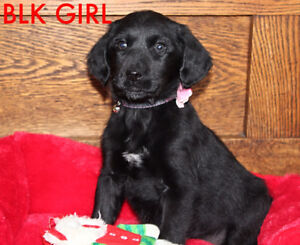 LABRADOODLE PUPPIES-READY TO GO NOW