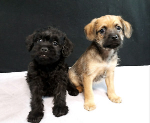 OMG Super Cute Griffypoos! Brussels Griffon X Toy Poodle