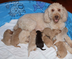 Beautiful F3 Goldendoodle Puppies
