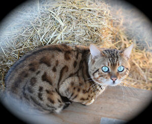 Gorgeous Purebred Glitter Male Bengal