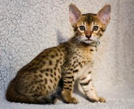 Beautiful pure breed kittens.