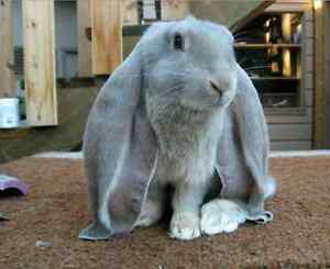 LOOKING TO BUY AN ENGLISH LOP EARRED BUNNY