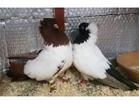 Nun pigeons