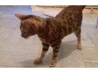 Pure beautiful Bengal 6 months old boy not muted