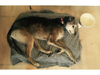 Lovely lurcher looking for a new home